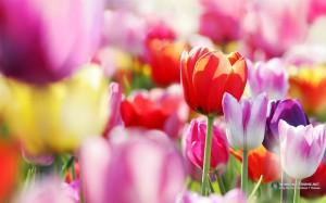 Тема spring flowers