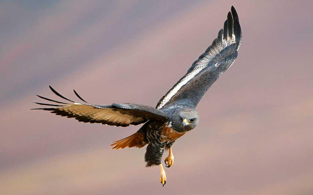 Тема Predatory Birds