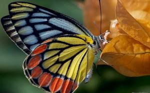 Тема Butterflies от Mayur Kotlikar
