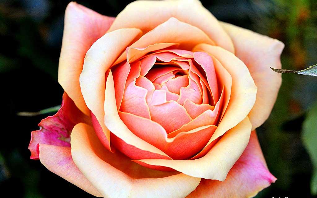 Тема Fantastic Flowers