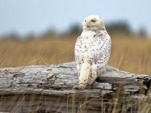 Тема Snowy Owls