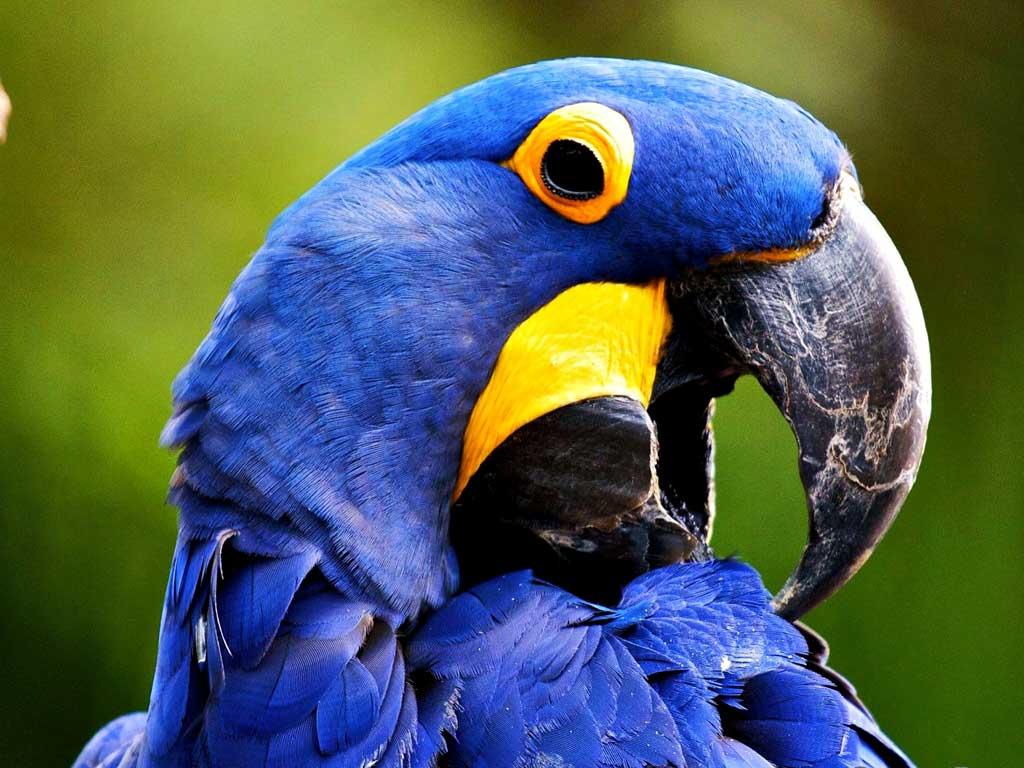Тема Macaw