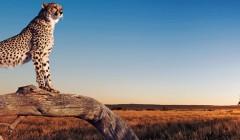 Тема Panoramic Animals